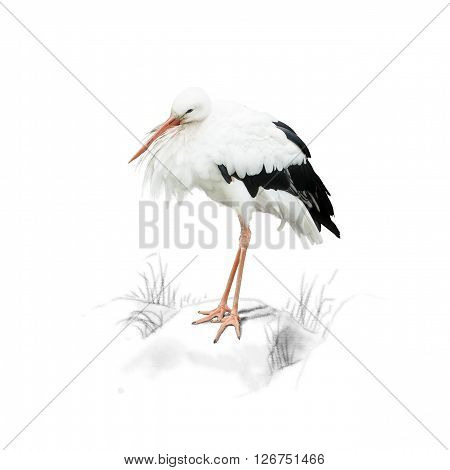Stork standing on a rock, isolated on white background