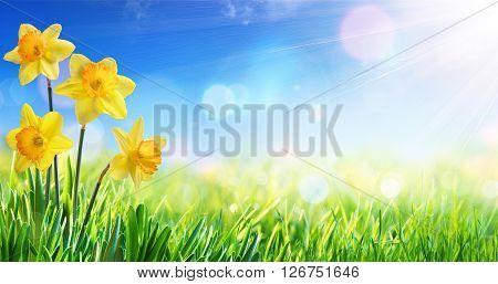 Daffodils In Sunny Field - Springtime BackgroundDaffodils In Sunny Field - Springtime Background
