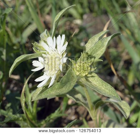 Carmel Daisy - Scabiosa prolifera White Scabious Flower