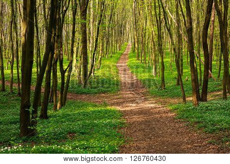 Forest pathway in a blossoming green woods at sunset