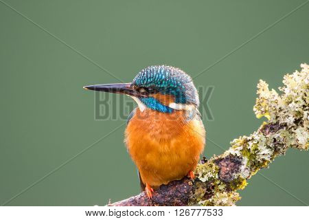 Female Common Kingfisher (Alcedo atthis) perched on a lichen covered branch looking to left