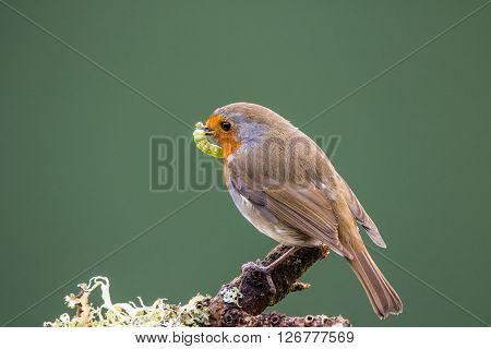 Robin (Erithacus rubecula) perched on a branch in spring holding a green larva preparing to feed its young