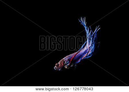 Blue Siamese Fighting Fish (betta Splendens) Isolated On Black Background.