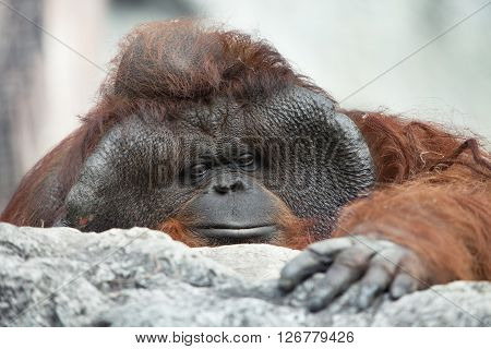 portrait of thoughtful  sad orangutan in summer environment