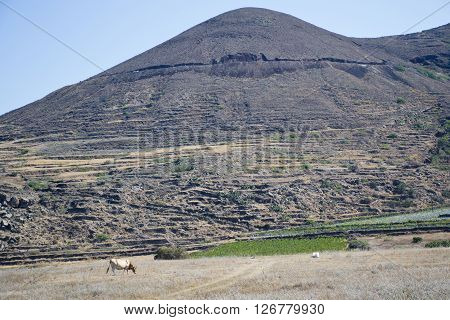 Landscape with hills and grazing cow - Santorini