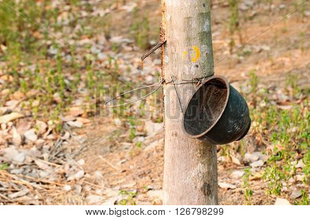 Tapping latex from a rubber tree. Phuket Thailand. yala Thailand