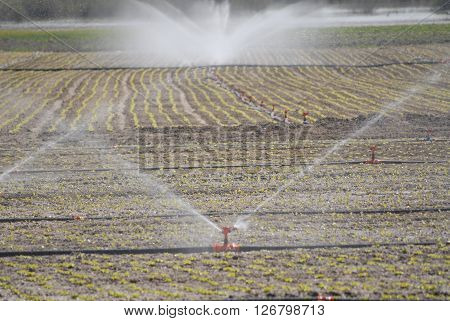 Field sprinkler on a sunny spring day during watering the soil