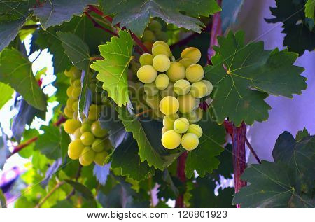 Yellow grapes decorating the private house wall in Southern Spain.