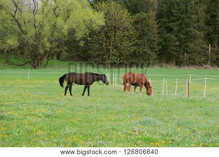 two brown horses pasturing on the green meadow with blooming flowers in spring