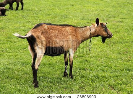 brown male goat standing on the green pasture