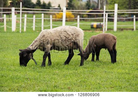 sheep with its lamb pasturing on the green grass in spring
