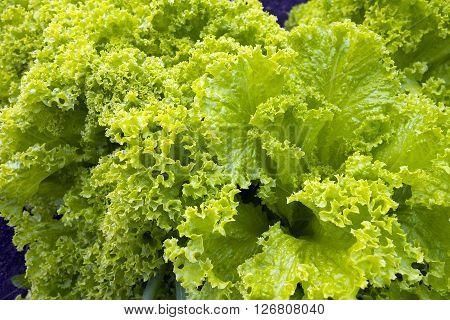 Growing  green fresh lettuce in home garden.