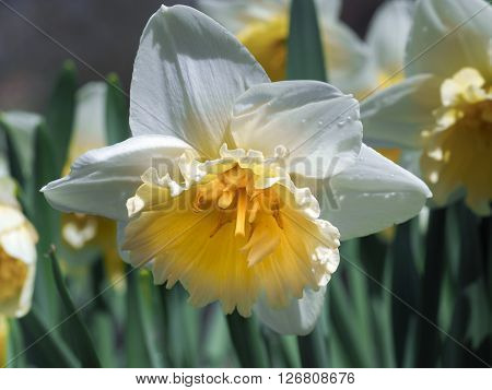 Daffodil flower in the green grass. On the petals drop of dew. Early spring, spring flower. White petals, yellow flower middle