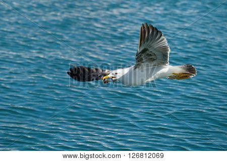 Seagull flying with fish to be caught holding it in its beak