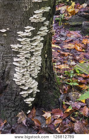 White fungi grow on a tree's trunk with colorful damp autumn leaves on the ground.