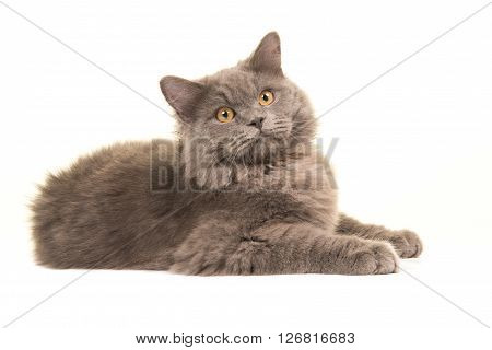 Pretty british longhair lying down isolated on a white background facing the camera seen from the side