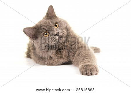 Cute grey british longhair kitten lying down isolated on a white background stretching his leg towards the camera