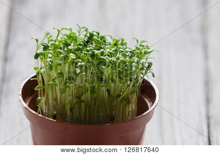 Watercress sprouts in the plastic pot, green