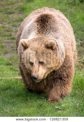 Huge brown bear walking in the nature at spring time
