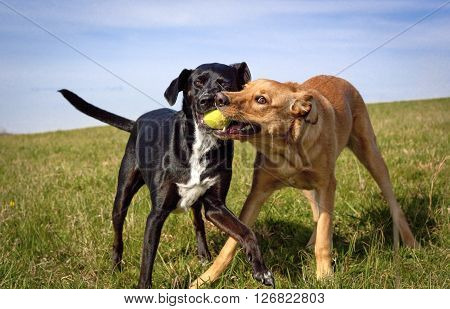 Two sweet mutts playing with a green tennis ball in both of their mouths in green field