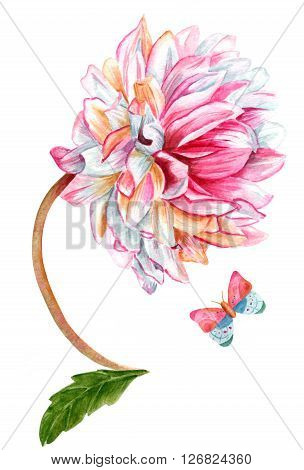 A watercolor of a single orchid (star) dahlia flower with a butterfly hand painted on white background in the style of vintage botanical art