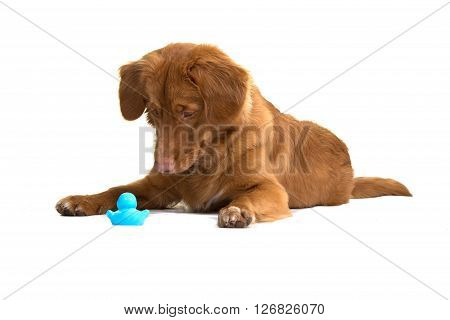 Nova Scotia duck tolling retriever lying down and looking at its toy, isolated on a white background