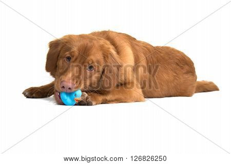 Nova Scotia duck tolling retriever lying down playing with a rubber toy isolated on a white background