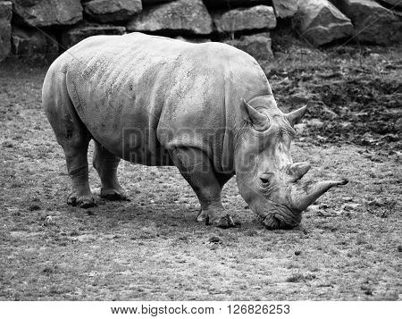 Black Rhinoceros, Diceros bicornis, grazing in the grass. Black and white image.