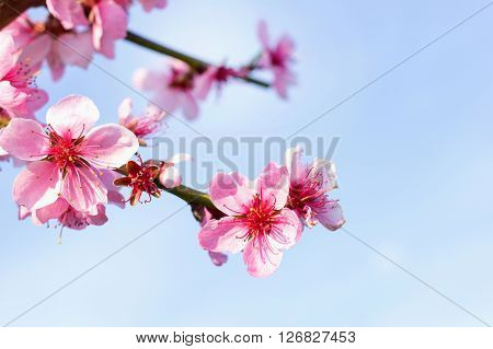 Branches with beautiful pink flowers (Peach) against the blue sky. Selective Focus. Peach blossom in the sunny day.