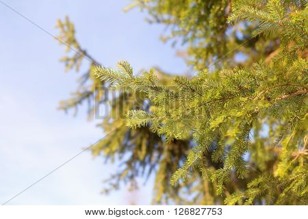 Fur-tree branch under the rays of the winter sun. Background image of winter fir branches in the sun.