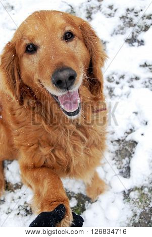 one cute golden retriever dog giving paw at snow outdoors