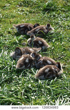 many  wild goslings in green grass cuddling