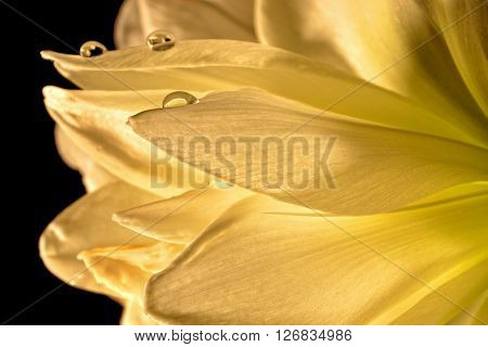 drops of water on white amaryllis blooms in detail