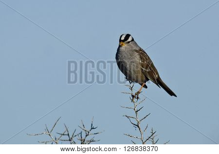 White-Crowned Sparrow Perched on the Tip of a Branch