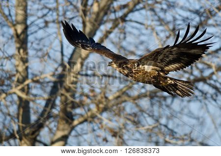 Young Bald Eagle Flying Past the Winter Trees