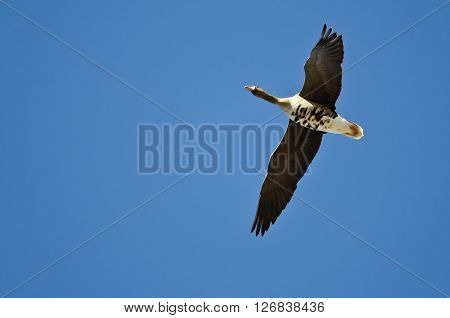 Greater White-Fronted Goose Flying in a Blue Sky
