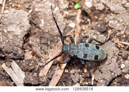 Rosalia Alpina rare species of beetle, with big anthemes, Cerambycidae family