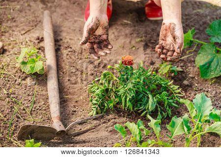 Woman Gardener Replanting Flowers