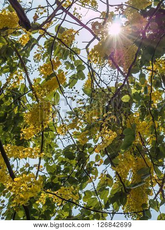 Golden shower tree or Cassia fistula with sun ray