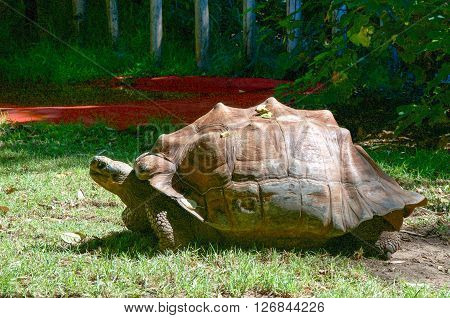 PERTH,WA,AUSTRALIA-MARCH 20,2016: Giant Galapagos Tortoise in outdoor enclosure at the Perth Zoo in Perth, Western Australia.