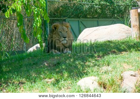 PERTH,WA,AUSTRALIA-MARCH 20,2016: African Lion in outdoor enclosure at the Perth Zoo in Perth, Western Australia.