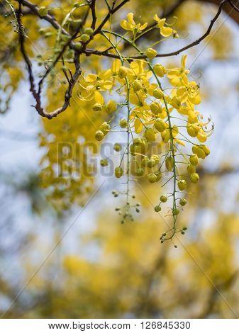 Golden shower tree or Cassia fistula closeup