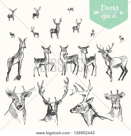 Set of hand drawn deers, vintage illustration, sketch