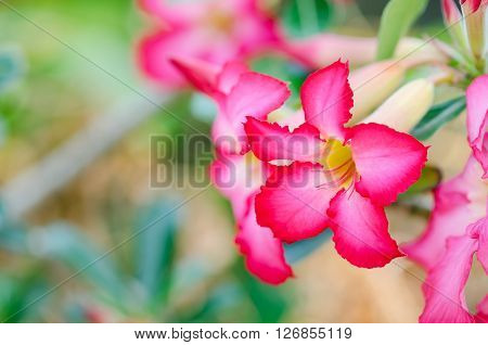 Closeup Pink Rose Impala Lily.  Mock Azalea Flower