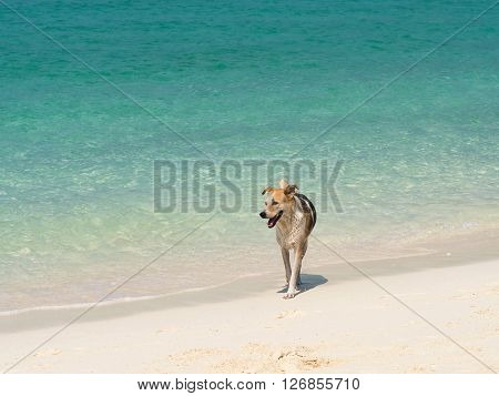 Happy dog walking on the beautiful beach at sunny day. Happy dog walking in the beautiful sea in summer time.