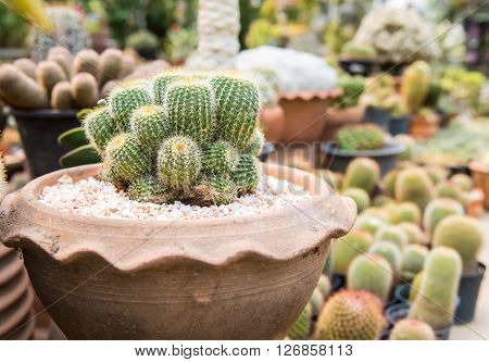 Cactus  Farm In Greenhouse.