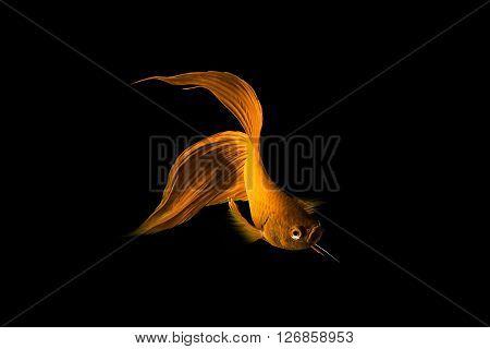 Golden Siamese Fighting Fish (betta Splendens) Isolated On Black Background.
