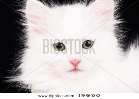 Cute fluffy white kitten over black background ** Note: Shallow depth of field