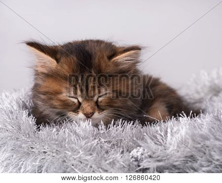 Asleep little siberian kitten on a warm knitted scarf over grey background
