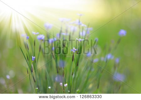 Wild flowers with sun flare on